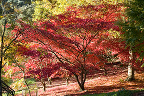Red Tree in New Forest England